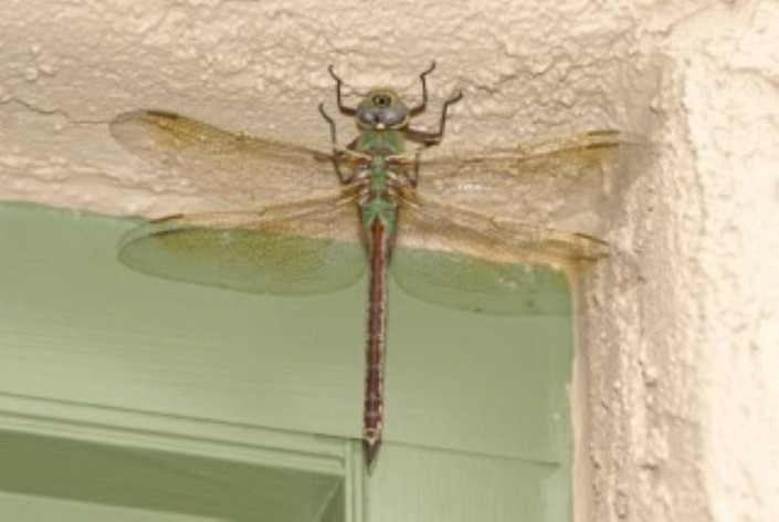Bills Painting : Dragon Fly